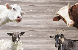 Goat and a sheep and cows Stock Photography