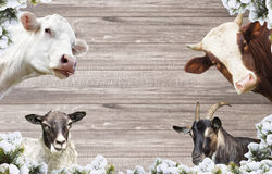 Goat and a sheep and cows Stock Photo