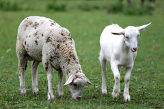 Goat and sheep eating fresh green grass rural scene Stock Image