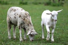 Goat and sheep eating fresh green grass rural scene Stock Image