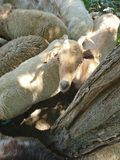 The goat and the sheep. Enjoying the shade of the tree in the middle of the summer royalty free stock image