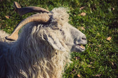 Goat, sheep or ewe. On a farm with green grass royalty free stock image