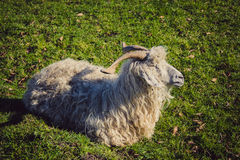 Goat, sheep or ewe. On a farm with green grass stock photo
