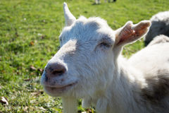 Goat, sheep or ewe. On a farm with green grass royalty free stock photos
