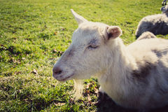 Goat, sheep or ewe. On a farm with green grass royalty free stock images