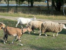 Goat and sheep farm at countryside stock photo