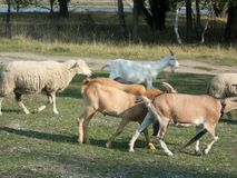 Goat and sheep farm at countryside stock images