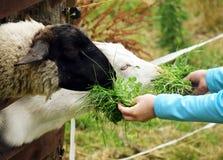 Goat and Sheep Feeding by Kids. Goat and sheep feeding by children, Krkonoše mountains, Czech republic Stock Photo