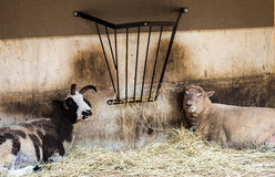 Goat and a Sheep Relax. A Goat and a Sheep Relax Stock Photos