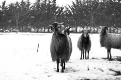 Goat and sheep in the snow. In meadow Stock Image