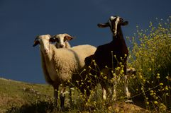 Goat and Sheeps. Courious goat and sheeps looking at the photographer Stock Images