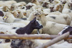 Goat and Sheeps Royalty Free Stock Photo