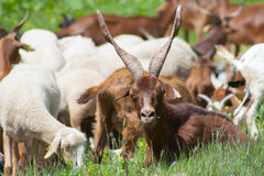 Goat and sheeps Stock Photos