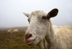 Goat shows tongue Stock Photos