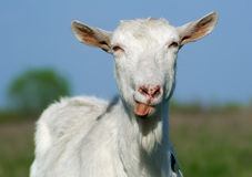 Goat shows tongue Stock Images