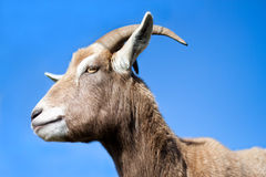 Goat side profile with blue sky background Royalty Free Stock Photos