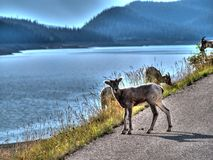 A goat on the side of a road in Canana. A goat on the side of a road near medicine lake, Canada Stock Images