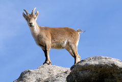 Goat in the Sierra de Gredos in Avila, Spain Royalty Free Stock Photo