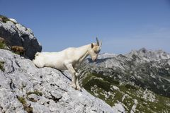 Goat sits on a rock and just wants to get up, Alps in Slovenia. Vogel Stock Images