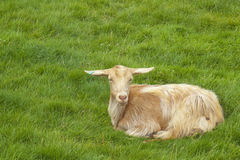 Goat - Sitting in field. A brown goat sitting in a lovely green meadow royalty free stock photography