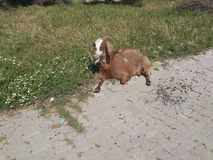 Goat sitting. Green fields and animals of farm village Royalty Free Stock Photo