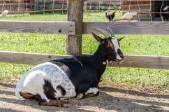 Goat sitting on ground Stock Image