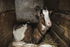 Goat sitting on hay in the stable, household Royalty Free Stock Photography