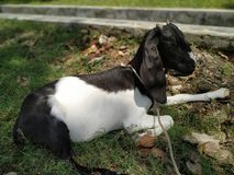 Goat Sitting Under The Tree royalty free stock photo