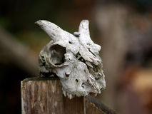 Goat Skull Royalty Free Stock Image