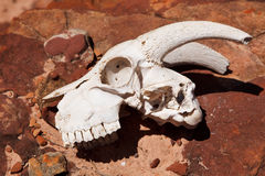 Goat skull on the rock Stock Photo