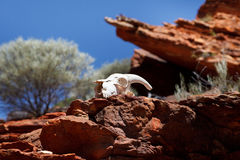 Goat skull in rocks Stock Image