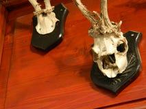 Goat skull. Goat skulls on wall for display Royalty Free Stock Image