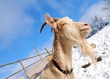 Goat and sky Stock Photos