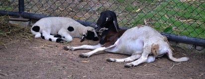 Goat sleep Royalty Free Stock Photo