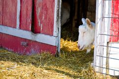 Goat sleeping in barn Stock Photo