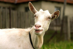 Goat smile Stock Photography
