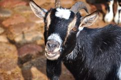 Goat smile Royalty Free Stock Photography
