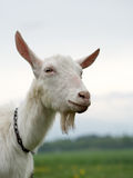 Goat smiling. Portrait of a goat with a blurred landscape in background royalty free stock photography
