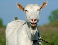 Goat smiling Stock Image
