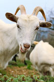 Goat with smirk. Close up of a funny white goat with a smirk on summer meadow royalty free stock images