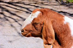 Goat with Smirk. Closeup of a brown and white goat with a smile of satisfaction stock photos