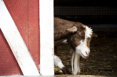 Goat sneaking around the barn. This mischievous goat looks like he is up to something, as he sneaks past the partially open barn door at the farm Stock Photos