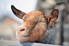 Goat snout Stock Image