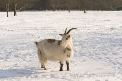 Goat in the snow Stock Photography