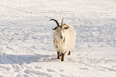 Goat in the snow Stock Photo
