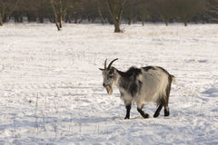 Goat in the snow Royalty Free Stock Images
