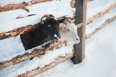 Goat in Snow Royalty Free Stock Image