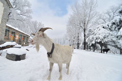 Goat in Snow Village. Beautiful snow scene in a forest Royalty Free Stock Photo