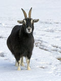 Goat in the snow. Stock Images