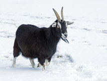 Goat in the snow. Royalty Free Stock Photo